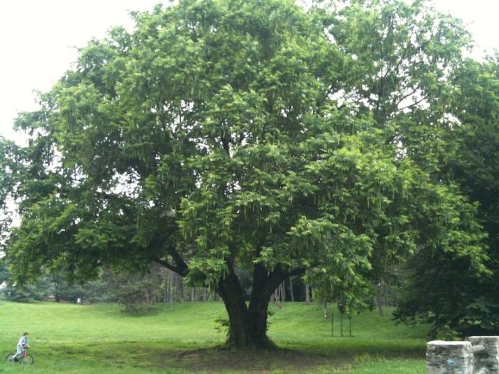 albero-pellerina-foro-ambmimg_1853
